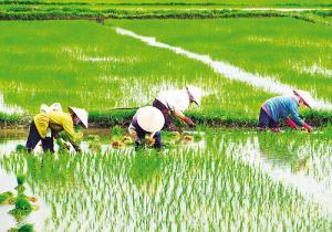 Chinos cultivan arroz